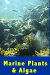 Guide to Sea of Cortez Plants and Algae