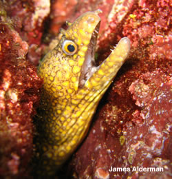 Moray Eel Sea of Cortez scuba photo