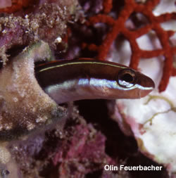 sabertooth blenny by Olin Feuerbacher in Sea of Cortez