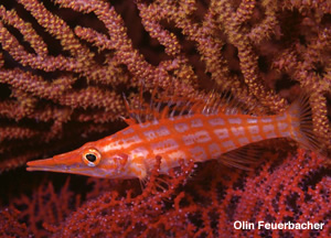 Longnose Hawkfish oxycirrhites typus photographed at a depth of 180 feet at Isla las Animas, Baja Mexico in the Sea of Cortez