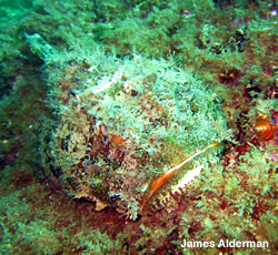 scorpaena mystes the pacific spotted scorpionfish in the Sea of Cortez